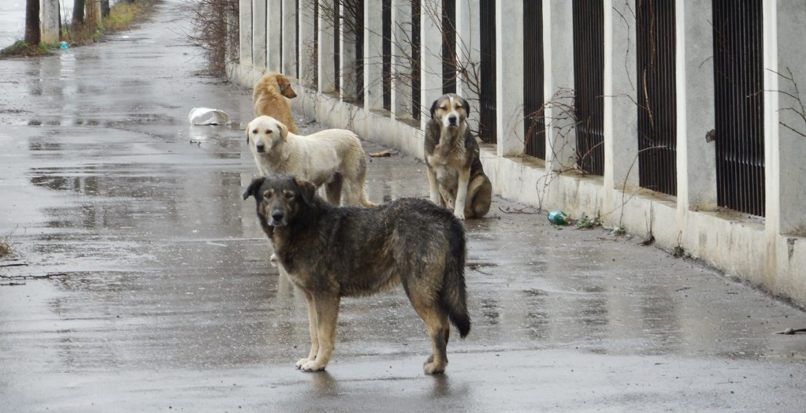 The Homeless Dogs of Romania